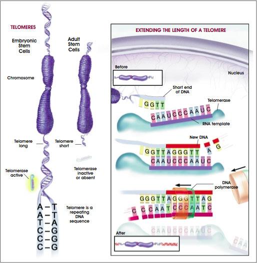 telomere-telomeras