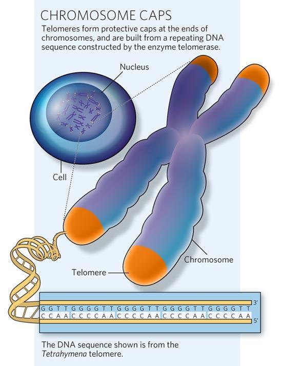 telomeres-color1